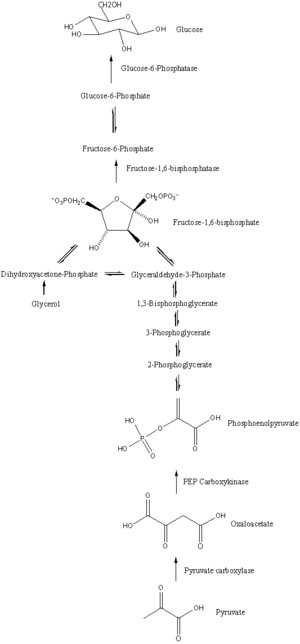 The process of gluconeogenesis